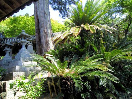 長谷寺の天狗杉