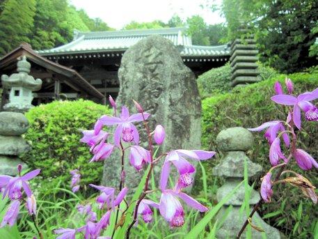 子嶋寺の紫蘭