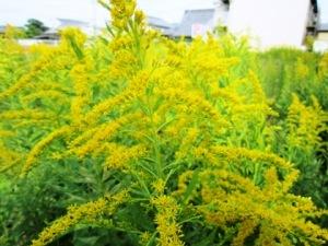 桜井市大福の花