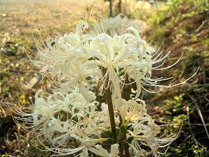 明日香村の白い彼岸花