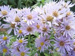 シオンの花