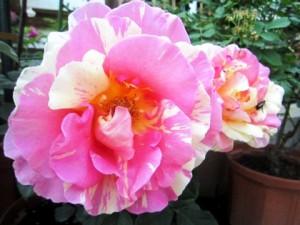 rose-ofusapink
