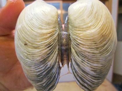 オク貝の蝶番