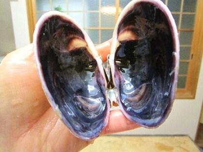 オク貝の貝殻