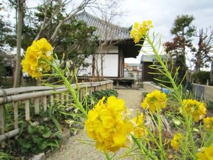 菜の花と正蓮寺大日堂