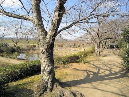 広瀬神社の桜並木