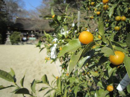 広瀬神社の橘