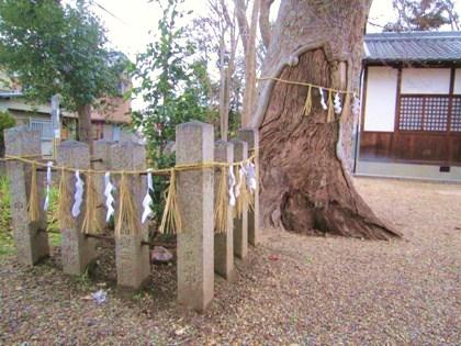 人麿神社の御神木