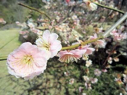 万葉文化館の枝垂れ梅