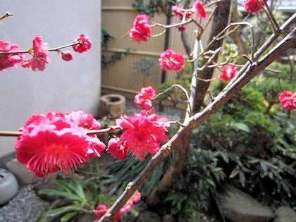 3月に開花する中庭の花