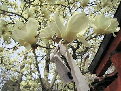氷室神社の木蓮とおみくじ