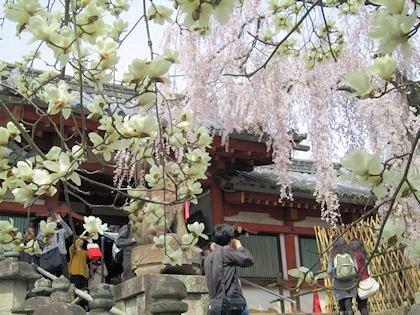 氷室神社の木蓮と枝垂桜