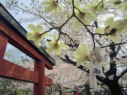 氷室神社の木蓮と鳥居