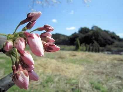 桜の蕾と箸墓古墳