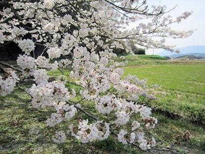 橘寺の左近桜と田圃