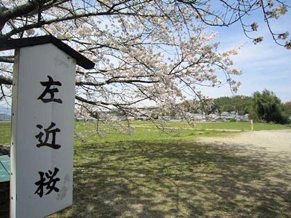 橘寺の左近桜