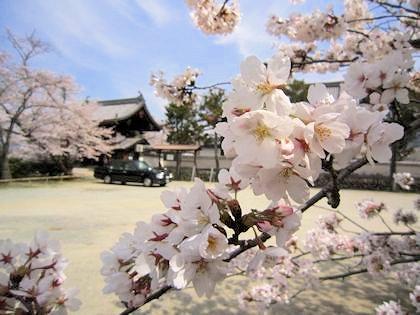 橘寺の左近桜とタクシー