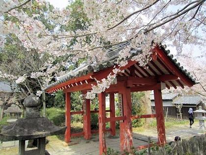 安倍文殊院山門の桜