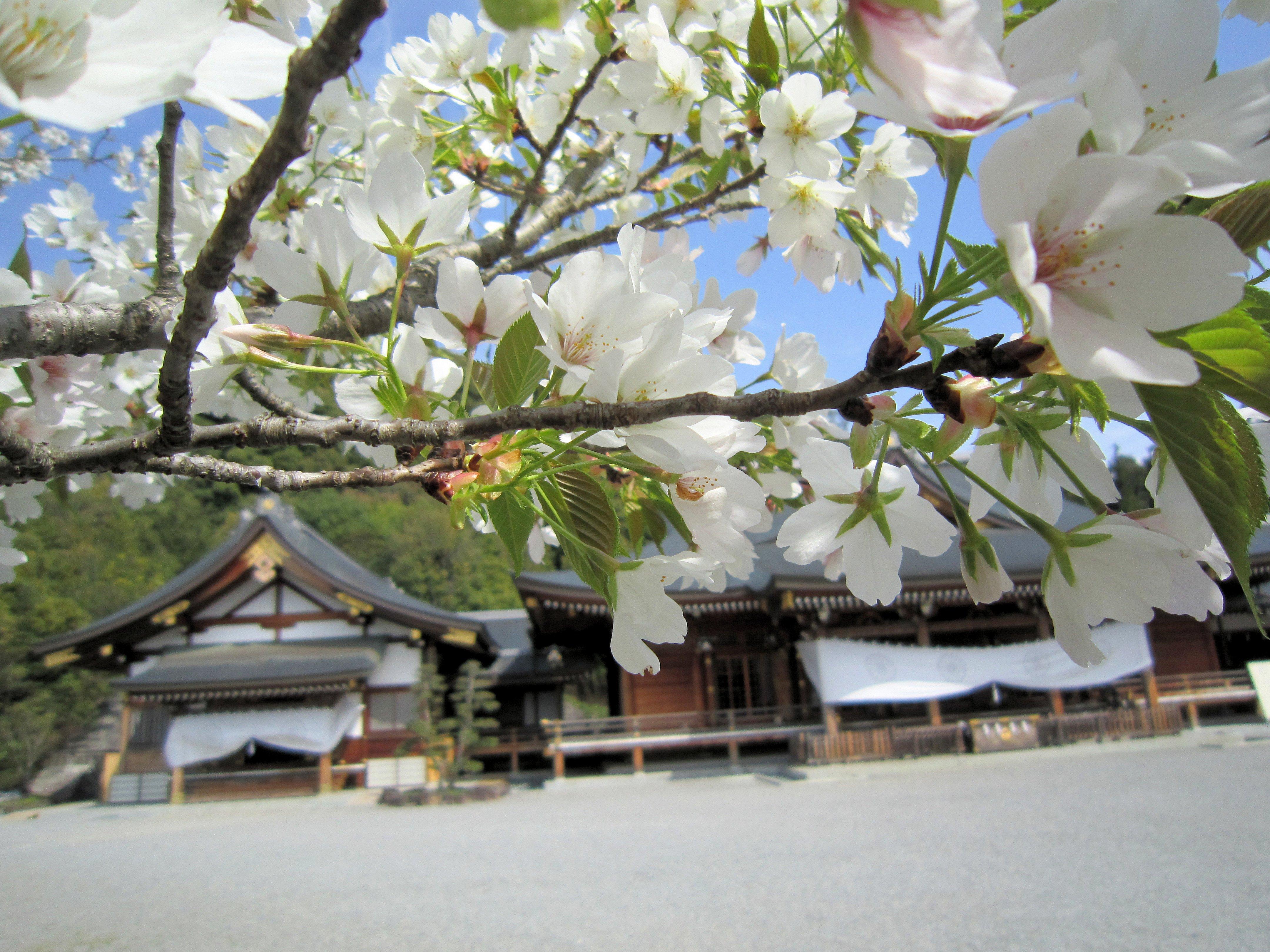 大神神社儀式殿と桜