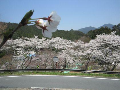 談山神社駐車場から見る桜