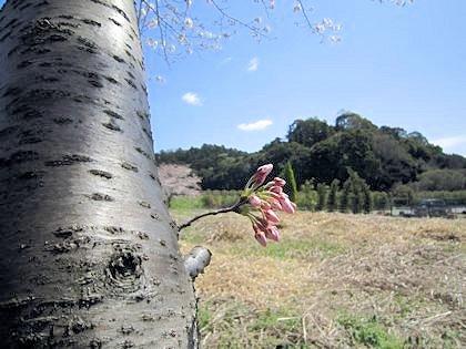 箸墓古墳と桜