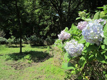 辰五郎大明神の紫陽花