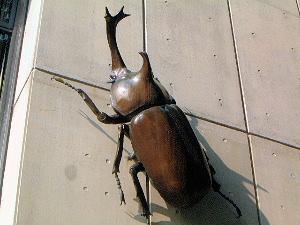 橿原市昆虫館のカブトムシ
