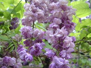 春日大社の八重咲きの藤
