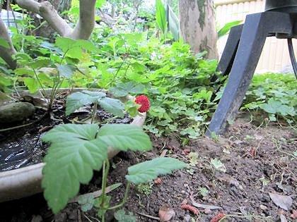 蛇イチゴの葉