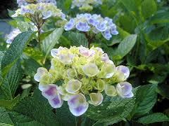 法華寺華楽園の紫陽花