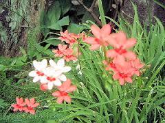 中庭に開花する紅白の花