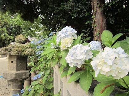 鴨都波神社の紫陽花