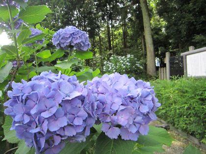 紫陽花と日本武尊白鳥陵