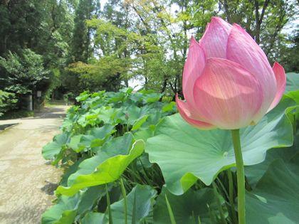 唐招提寺はす池の蓮