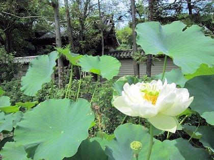 白い蓮と戒壇