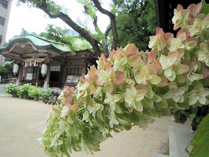 紫陽花と坐摩神社拝殿