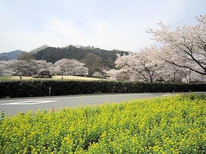 石舞台古墳の桜と菜の花