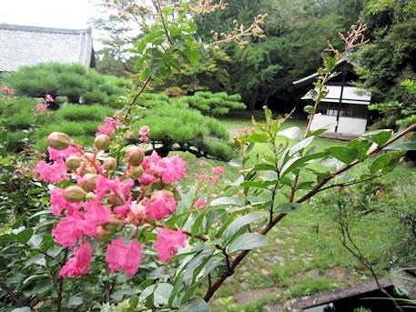 弘仁寺のサルスベリ