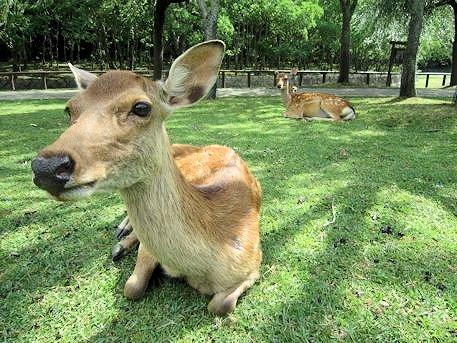 荒池園地の鹿