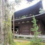 大徳寺のイブキ