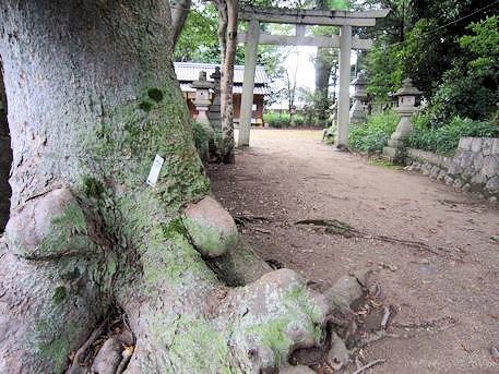 森神社の槻の瘤