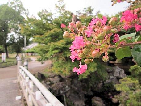 奈良公園のサルスベリ