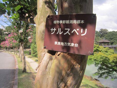 植物季節観測用のサルスベリ