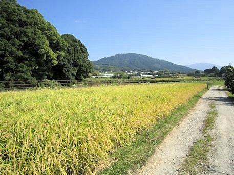 稲穂と景行天皇陵と三輪山