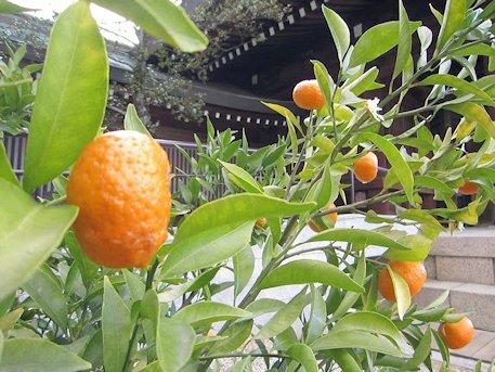 橿原神宮の橘
