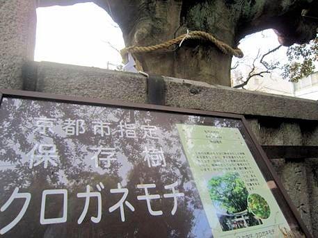 満足稲荷神社のクロガネモチ
