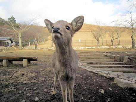 若草山麓の鹿