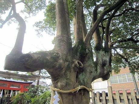 満足稲荷神社のもちの木