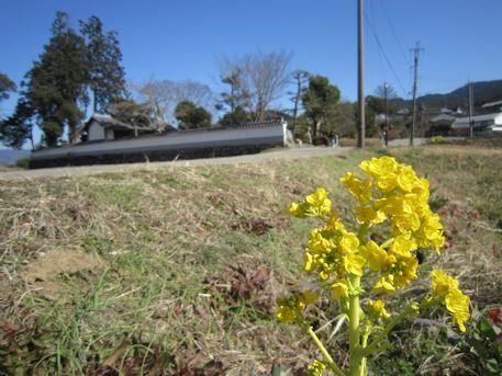菜の花と鎌足産湯の井戸