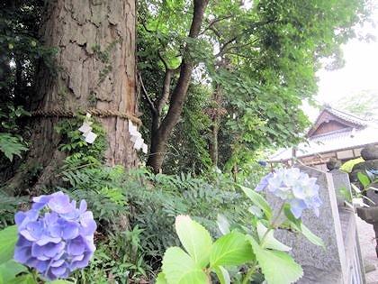 鴨都波神社の御神木